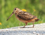 Shorebirds - genus Scolopax
