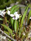 Lance-leaved Violet - Viola lanceolata