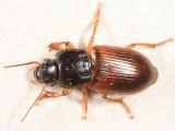 Anisodactylus sanctaecrucis