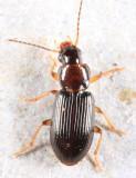 Bradycellus neglectus