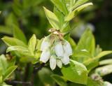 Highbush Blueberry - Vaccinium corymbosum