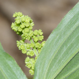 False Solomon's Seal - Smilacina racemosa