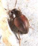 Catops simplex
