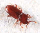 Minute Bark Beetles - Cerylonidae