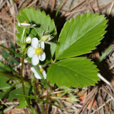 Wood Strawberry - Fragaria vesca
