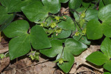 Sharp-lobed Hepatica - Hepatica acutiloba