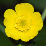 Tall Buttercup - Ranunculus acris