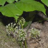 Wild Sarsaparilla - Aralia nudicaulis