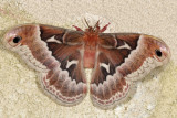 Apatelodidae through Saturniidae Moths  7663 -7770