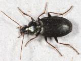 Agonum placidum