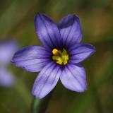 Slender Blue-eyed Grass - Sisyrinchium mucronatum