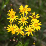 Golden Ragwort - Senecio aureus