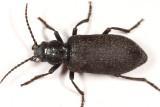 Ditylus caeruleus
