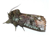 8007 - Unicorn Caterpillar Moth - Schizura unicornis