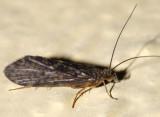 Rhyacophila acutiloba