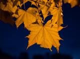 Maple Leaf Transilluminated at Night