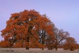 Frosty Morning Oaks