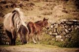 Dartmoor Mare & Foal