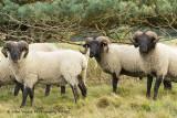 Norfolk Horns