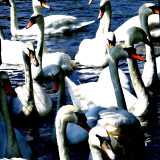 Swans (for Coleen)