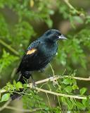 DSC_3071_Redwinged Blackbird_web.jpg