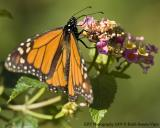 _SH21990 Monarch.jpg