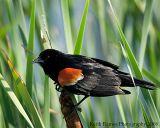 _KRV0061 Red-winged Blackbird.jpg
