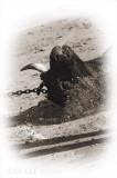 Dragging The Bull