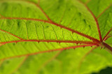 Aralia Leaf 8495.jpg