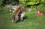 Foxes At Home