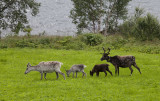 And now some wildlife or life in the wild! Reindeer