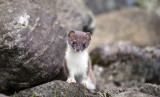 and Stoat