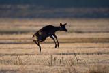 Fallow - deer (Cervus dama)