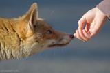 The Fox and Cosimo