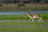 Fallow-deer (Cervus dama)