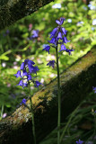 Blue Bells...Carterton