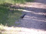 Valley quail
