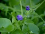 Blue vine flowers