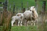 Lambing season, New Zealand