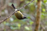 Korimako - New Zealand Bellbird
