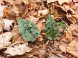Pair of leaves with large spots