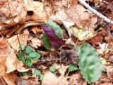 Showing magenta underside of typical leaf