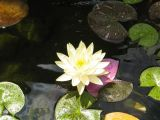 water pond lily flowers