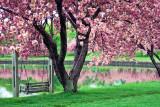 120, Cherry Blossoms, Mamaroneck