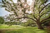 172, The Bedford Oak