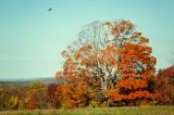 186, Autumn Tree, Mt. Kisco