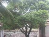 maghizha maram(vakula vRksham).jpg
