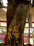 5-ThiruAnandAzhwan as Maghiza tree (Thiruvarasu)