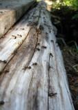 ants crossing a bridge!