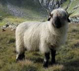Switzerland sheep! walliser schwarznasen